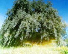 MoArt Tree Magic 37