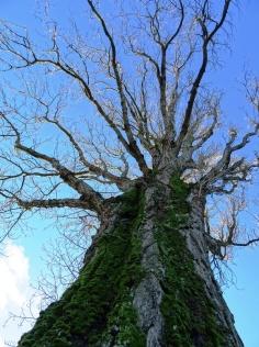 MoArt Tree Magic 75